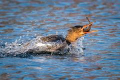 The Goosander caught a fish! (BP Chua) Tags: japan hokkaido kushiro bird nature wild wildlife animal caught goosander fish river nikon d850 600mm