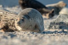 Warte ich komm ..... (Claudia Brockmann) Tags: natur nature wildlife wildanimal helgoland nordsee nordseeinsel strand sand düne animal animals tier tiere robbe robben robbenbaby kegelrobbe kegelrobben