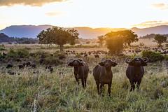 Kidepo NP buffalo's... (Manon van der Lit) Tags: afrika africa uganda oeganda buffalos buffels kidepo national park gamedrive safari savanne sunset african savanna buffalo