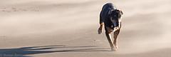 recall like no other (RCB4J) Tags: ayrshire ayrshirecoast babygrace clydecoast firthofclyde irvinebeach jakob rcb4j ronniebarron scotland siameselurcher trailhound adventure art beach dogwalkadventures dogs photography sandstorm severeconditions spectactular windy