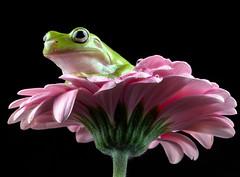 White's Tree Frog, CaptiveLight, Bournemouth, UK (rmk2112rmk) Tags: whitestreefrog captivelight treefrog frog amphibian litoria caerulea herps