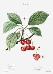 Cherry (Cerasus) illustration from Traité des Arbres et Arbuste