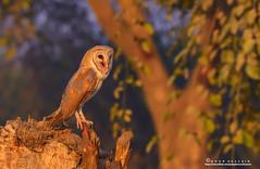The Barn Owl. (Noor Hussain.) Tags: wildlifeofpakistan wildlife wwf wild white birdsofpakistan bbc birdsofmultan birdofprey barnowl bird blue tytoalba tellons feather beak beautifulpakistan face facial disk eyes air art common dof depthoffield detail grey himalayan habitat hills iucn jungle sky pakistan snow outdoor bukkeh winter texture yellow frozen classic red nature portrait light firstraysoflight owl new wood animal