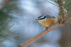 Nuthatch (ayres_leigh) Tags: nuthatch breast nut algonquin park ontario wildlife bird nature canon