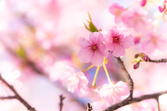 fellow (hitohira_) Tags: flower flowers nature bokeh cherry macro