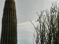 P1022337 (Claussm) Tags: vsco arizona az bird gh5 lumix sky cacti lovebird
