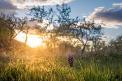 Los ultimos rayos de luz (jbellostas) Tags: flores atardecer 35mm nikonistas