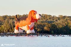 Canberra Balloon Spectacular 2019 (acaffery) Tags: hot air balloons lakeburleygriffin hotairballoons canberraballoonspectacular enlighten enlightencanberra nationallibraryofaustralia nationalmuseumaustralia beagle maximus