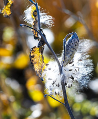 Milkweed In Winter (Tom Herlyck) Tags: amazing america a7rii beautiful colorado camera colorful closeup decaying decay digital day easterncolorado exposure fall flower golden jazzed bokeh seeds milkweed monarchbutterfly interesting intimate
