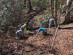 Pulling English Ivy at a field site workday in McDowell County, NC (jimf_29605) Tags: shortiagalacifoliavarbrevistyla englishivy workday mcdowellcounty northcarolina wildflowers iphone7s jancantrell merrimclean lesleystarke alancressler