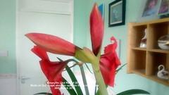 Amaryllis (2nd Red of 2019) Buds on 2nd scape about to open on living room table 26th March 2019 (D@viD_2.011) Tags: amaryllis 2nd red 2019 buds scape about open living room table 26th march