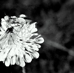 Scabiosa columbaria L. pincushion flower, small scabious (Spiranthes2013) Tags: scabiosacolumbarial pincushionflower smallscabious scabiosa scabious plantae angiospermen angiosperms eudicots eudicosiden asterids asteriden dipsacales kardengewächse caprifoliaceae dipsacoideae euasteriden euasterids kardenartige geisblattgewächse kfwolfstetter diascan scan 6x6 6x6dias pland pflanzen pflanzendias deutschland germany becker bayern bavaria lowerfranconia unterfranken lkmiltenberg