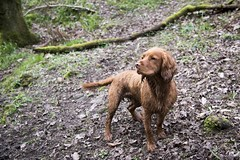 'Scooby'#2 (Taken By Me Photography) Tags: dog walkthedog boy k9 mutt hound outside outdoors outdoor walk woods woodland nikon north lancashire land lancs d750 takenbyme takenbymephotography wwwtakenbymephotographycouk scooby working cocker spaniel workingcockerspaniel