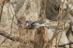 Duck (Charlie Lee.) Tags: southkorea republicofkorea korea 한국 canon 7dmarkii daegu 대구 bird 새 조류 birds sincheon stream river 신천 duck 오리