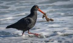 Variable Oystercatcher - High tide supplies breakfast (njohn209) Tags: birds d500 nikon nz