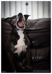 (mitch62efc) Tags: stahhordshirebullterrier staffy dogs