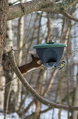 Squirrel and bird (PetuPictures) Tags: squirrel finland winter eat food snow animals animal animalphotography photography nature naturephotography pentax sigma