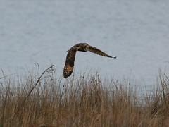 IMG_9998 (monika.carrie) Tags: monikacarrie wildlife seo shortearedowl forvie scotland owl