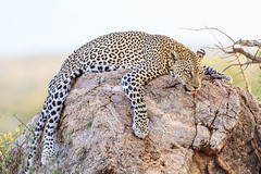 LEOPARD ROCHER SAMBURU KENYA (macdelou) Tags: léopard rocher kenya samburu sweetfreedom