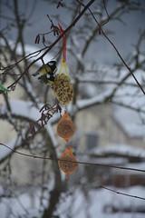 Vogelfütterung (shortscale) Tags: vogel meise futter schnee winter meisenknödel erdnuss baum ast