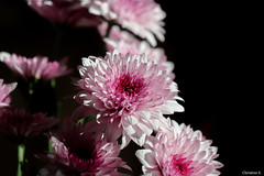 chrysanthemums (Christine_S.) Tags: flower pompoms mums purple japan cutflowers canon eos mirrorless nature flowers 菊 ダンテ m5 coth5 sunlight light bright pretty