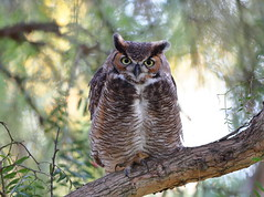 I think this is a first year owl (charlescpan) Tags: