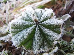 Frauenmantel - Common lady's mantle - Alchemilla vulgaris (elisabeth.mcghee) Tags: frauenmantel frost frozen alchemilla vulgaris common ladys mantle oberpfalz upper palatinate unterbibrach icicles