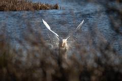 Mute Swan through a bush! (Liam Waddell) Tags: bird mute swan water blue grass reeds bush white irvine ayrshire ponds flying takeoff