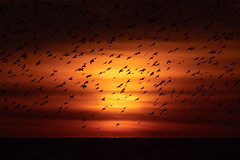 Brighton Starling Murmuration (Sam_C_Moore) Tags: starlings murmuration brighton palace pier gh5 600mm wildlife birds roosting winter sunset
