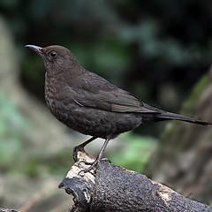 Poise (ben_smith_007@yahoo.co.uk) Tags: blackbird birdbirdsnaturewildlifephotographybirdphotographynikonnikond500 wildlife naturephotography photography