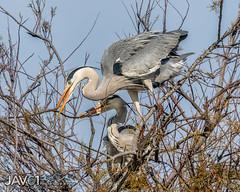 Under construction ... -0342 (George Vittman) Tags: bird construction flight greyheron heron nest tree