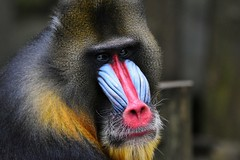 Adult Mandrill @ Ouwehands Zoo (By Peter Hollander, thanks for + 200.000 views) Tags: monkey mandrill zoo animal ouwehands d7200 nikon sigma150600sports closeup colorful