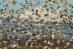 Chen caerulescens (Snow Geese) - Skagit, WA (Nick Dean1) Tags: chencaerulescens goose snowgoose geese anseriformes animalia chordata aves skagitcounty skagitvalley washington washingtonusa washingtonstate firisland flock blizzard black white
