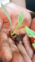 Bibit Tempuyung / Sonchus Arvensis Seed (setiawanap) Tags: setiawanap setiawanapvlog indonesia tanaman tumbuhan daun bunga buah batang plants tree leaf flower fruit tempuyung dauntempuyung sonchus sonchusarvensis