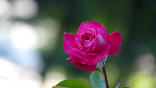 Обои фон, роза, бутон картинки на рабочий стол, раздел цветы - скачать