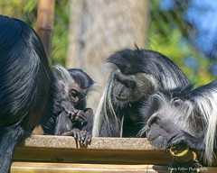 Whole Lotta Love (Harry Rother) Tags: animal mammal black white monkey primate colobus disney cute zoo angolan africa