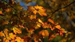 Feuillage (luc.durocher) Tags: montréal samyang135mm feuillage explore automne autumn