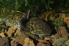 Ambystoma andersoni (henk.wallays) Tags: caudata aaaa ambystomaandersoni nature chordata amphibia ambystoma ambystomatidae achoque ambystomowate henkwallays querzahnmolche ambystomy amfibie amfibien amphibie amphibien anfíbios batrachien closeup criticallyendangered gewervelden harántfogúgőtefélék lurche macro molesalamander molsalamander mullvadssalamandrar natuur neotenic newt paedomorph poprzecznozębne salamander salamandrastopo vertebrata vertebrate wildlife амбистомовые амбістомові амбістомы земноводні トラフサンショウウオ科 year2019 date