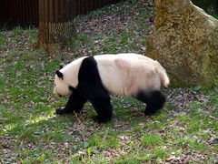 rhenen_2_064 (OurTravelPics.com) Tags: rhenen the giant panda xing ya his outside residence pandasia ouwehands dierenpark zoo