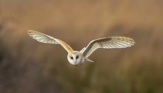 Norfolk Feb 2019 Barn Owl