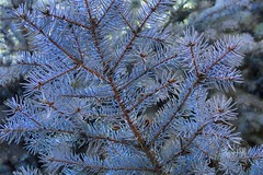 Blue spruce branch from below. Taken on 10-26-18, at Majestic View Nature Center in Arvada, Colorado.  . . . . .  #CanonRebelT5 #Canon #Rebel #T5 F/5 30mm 1/250s ISO-1000 #oooShiny #oooShinyPhotography #bluespruce #branch #MajesticViewNatureCenter #Arvada (oooshinyphotography) Tags: bluespruce color canonrebelt5 naturephotography branch trees coloradoshared coloradotography arvada canon oooshiny colorado colorcaptures spruce t5 coloradolove rebel treephotography nature tree branches coloradocreative majesticviewnaturecenter coloradophotography oooshinyphotography treecaptures viewcolorado blue coloradophotographer coloradocollective