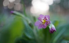 Douceur de printemps (passionpapillon) Tags: macro flower fleur bokeh color printemps primevère passionpapillon 2019 ngc