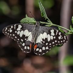 Spread Wide (gecko47) Tags: insect butterfly lepidoptera swallowtail chequeredswallowtail papiliodemoleus papilionidae dorsalview bongaree bribieisland brisbane bribieislandbutterflyhouse macro