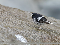 Little Forktail (Enicurus scouleri) (gilgit2) Tags: avifauna birds canon canoneos70d category fauna feathers geotagged gilgit gilgitbaltistan imranshah littleforktailenicurusscouleri location naltar pakistan sigma sigma150500mmf563apodgoshsm species tags wildlife wings gilgit2 enicurusscouleri