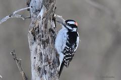 DSC_2582 Hairy Woodpecker (felicitydawn) Tags: woodpecker bird hairywoodpecker