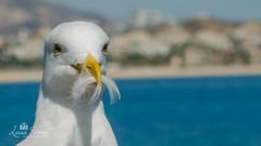 (Tokun123) Tags: seagul beach coast ocean blue water feather nature outdoor white beak
