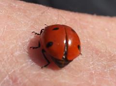 Wiosna Frühling Spring 2019 (arjuna_zbycho) Tags: wiosna frühling spring biedronka maikäfer marienkäfer ladybird coccinellidae ladybirds coccinella magnifica ladybugs ladybirdbeetles ladybeetles