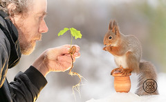 Red squirrel standing on a acorn with man holding a oak tree (Geert Weggen) Tags: squirrel red animal backgrounds bright cheerful close color concepts conservation culinary cute damage day earth environment environmental equipment love winter snow photo acorn nut food youngtree oak oaktree man person human bispgården jämtland sweden geert weggen hardeko ragunda