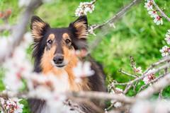 07/52 Leia & blossom (shila009) Tags: leia perro dog roughcollie portrait blossom almendros flowers flores almondstrees 0752 52weeksfordogs