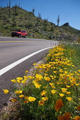 day trip to apache trail (EllenJo) Tags: arizona daytrip daytriptoapachetrail az march10 2019 ellenjo pentaxks1 march jeep arizona88 apachetrail sonorandesert poppies